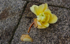 A fallen flower in Oakengates