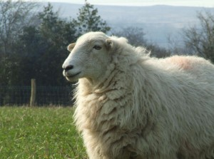 An intelligent Welsh sheep